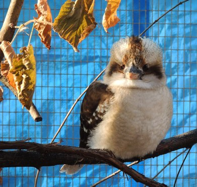 Laughing-Kookaburra-2