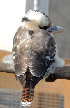 Laughing-Kookaburra-Backside