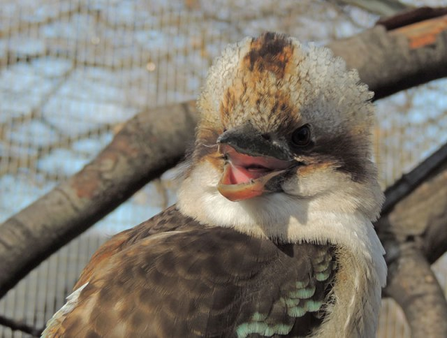 Laughing-Kookaburra-Laughing