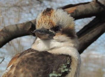 Laughing-Kookaburra-Portrait