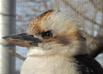 Laughing-Kookaburra-Side-View