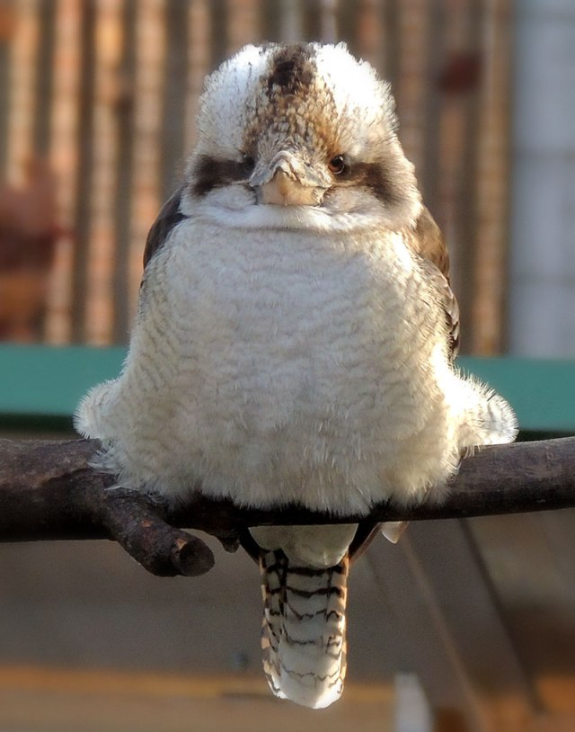 Laughing-Kookaburra