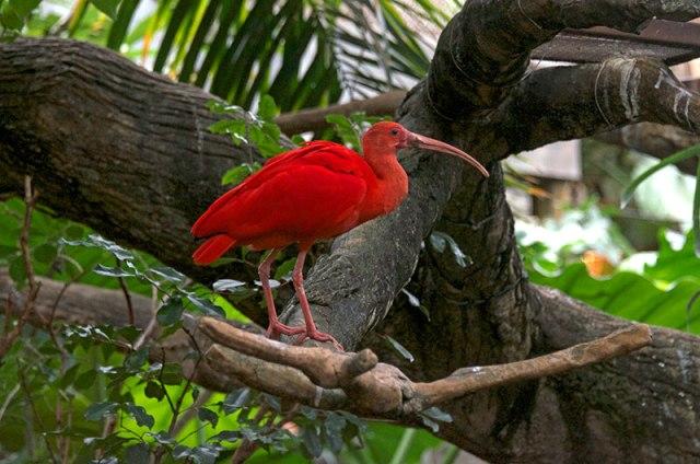 Scarlet-Ibis-3