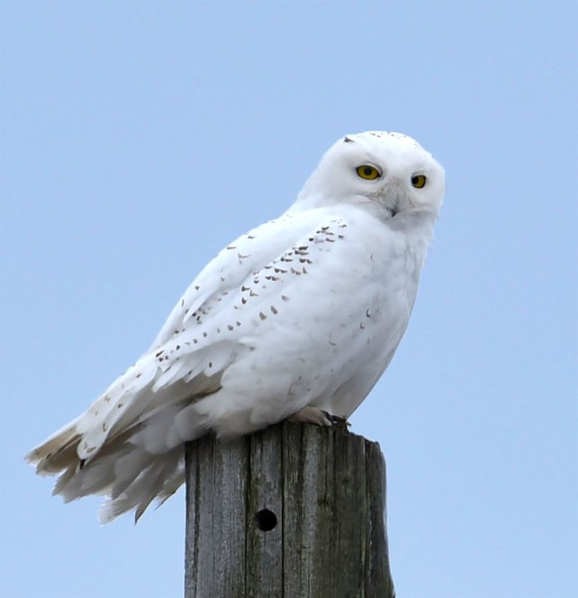 Snowy-Owl-on-Post