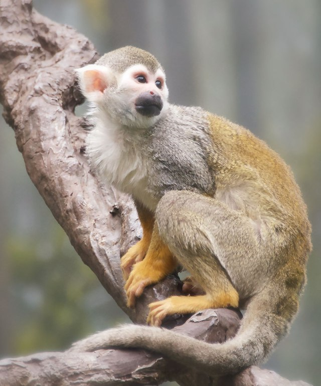 Squirrel-Monkey-2