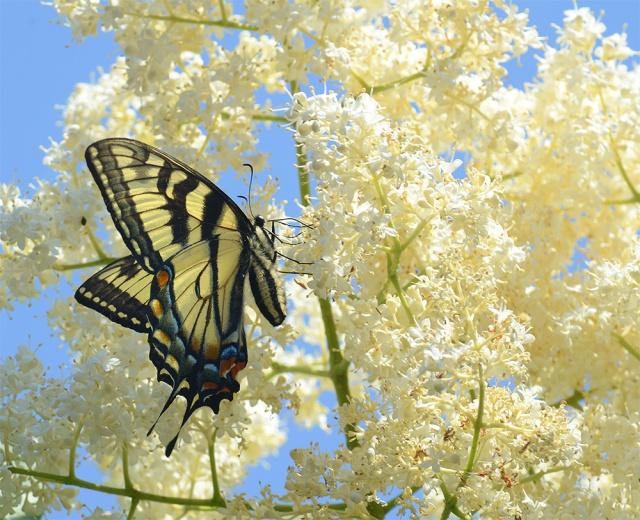 tigerswallowtail