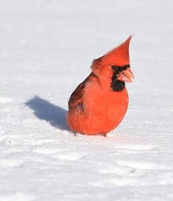 Cardinal-in-Snow-1