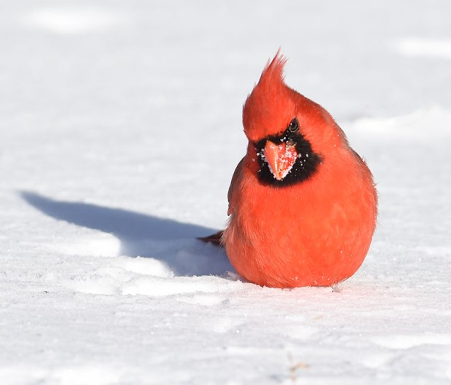 Cardinal-in-Snow-2