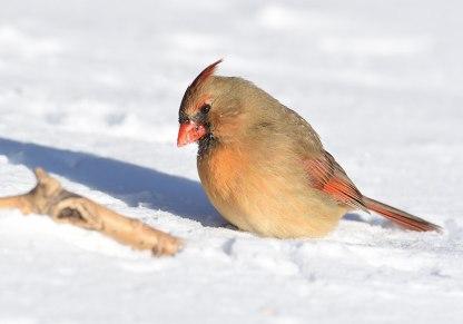 Cardinal-in-Snow-5