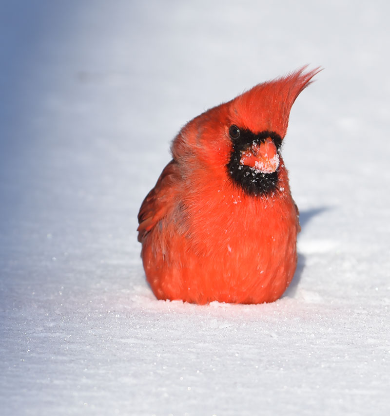 Why do we have so many northern cardinals this winter - Pictures of cardinals in snow ...