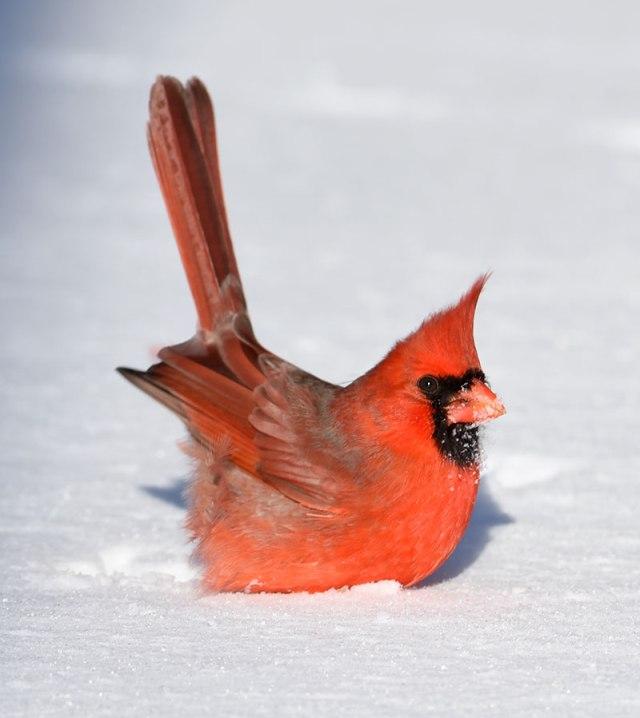 Cardinal-in-Snow-7