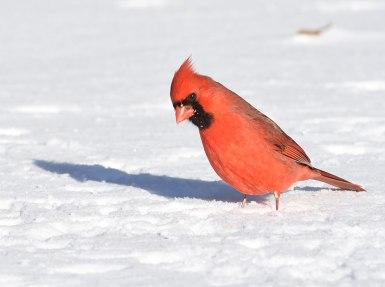 Cardinal-in-Snow