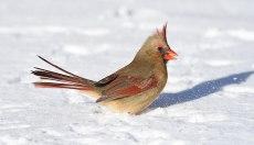 Cardinal-Kicking-Snow