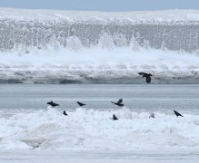 Crows mobbing a Snowy Owl
