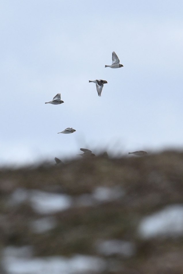 Snow Bunting flock