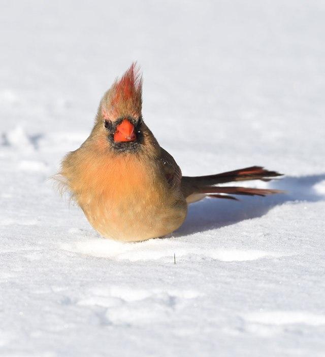 Female-Cardinal-in-Snow-1