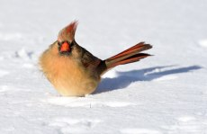 Female-Cardinal-in-Snow