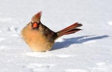 Female-Cardinal-in-Snow