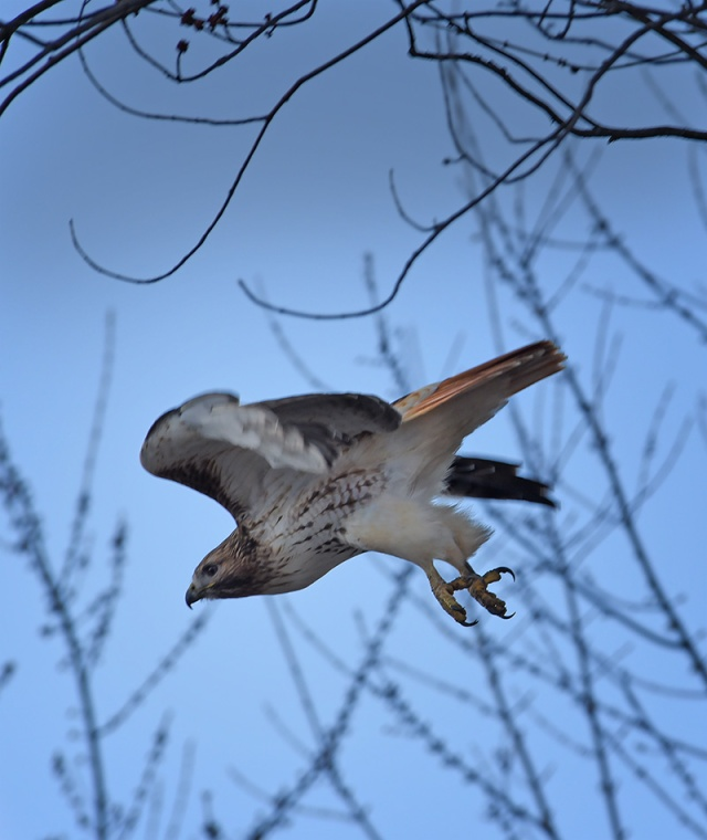 Hawk-leaving-Tree