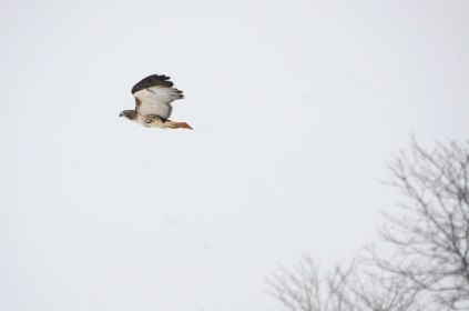 Hawk1-12-15-2