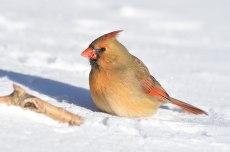 Mad-cardinal-1