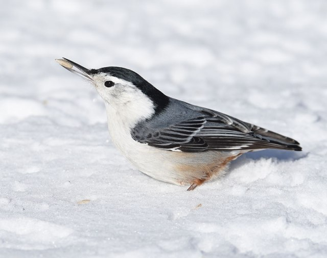 Nuthatch-in-Snow