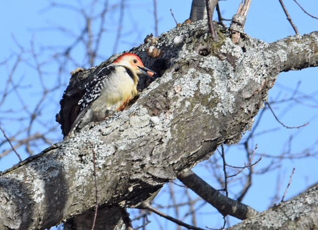 Red-bellied-Woodpecker-1