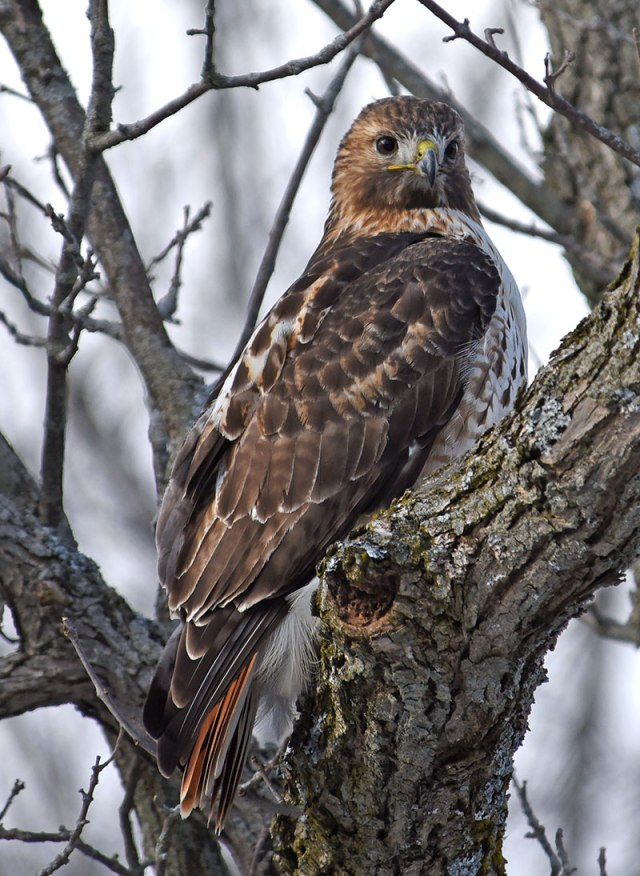 Red-tailed-Hawk-Dec14