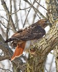 Red-Tailed-Hawk-in-NY