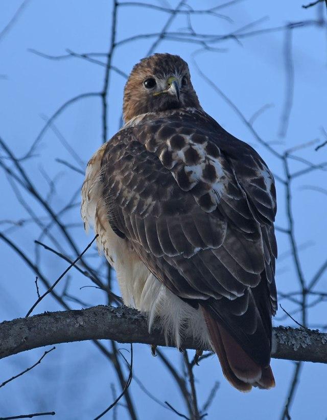 Red-tailed-Hawk-NY-12-28-14