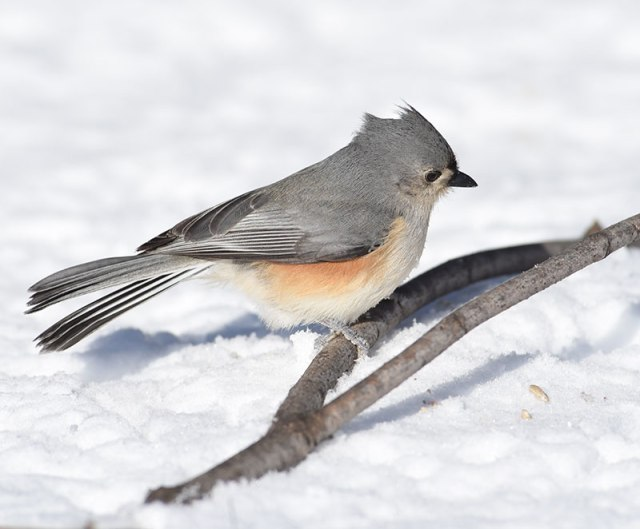 Tufted-Titmouse-in-Snow