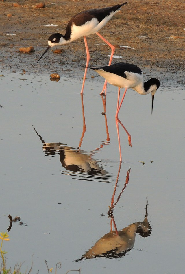 2-Hawaiian-Stilt-Reflections