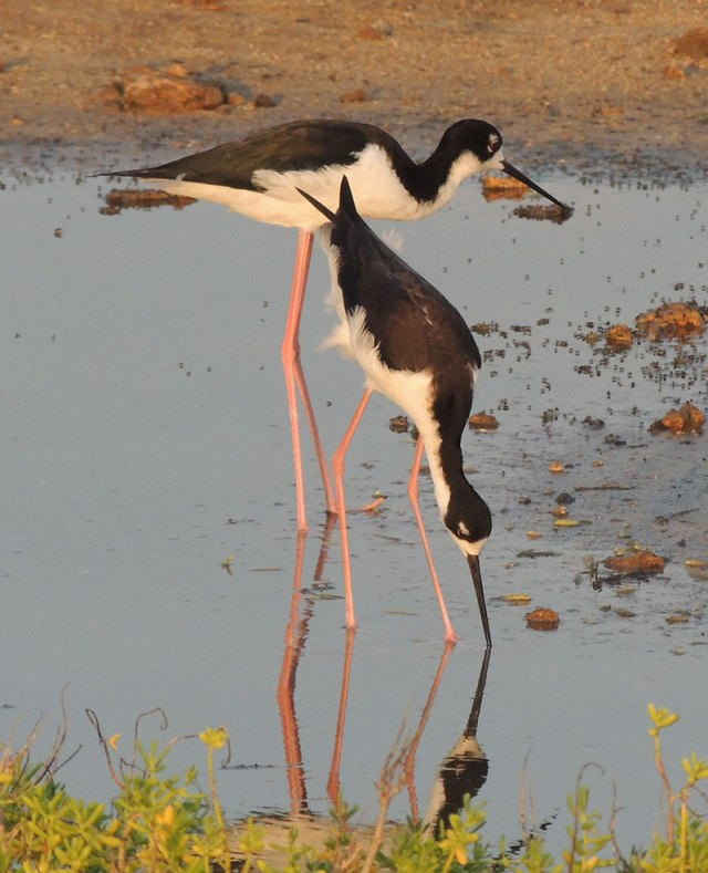2-Hawaiian-Stilts-1