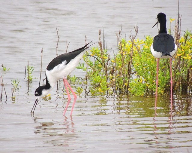 2-Hawaiian-Stilts