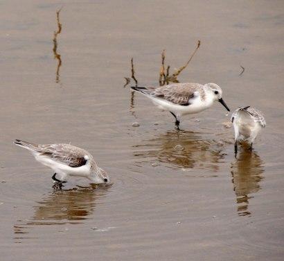 3-Sanderlings