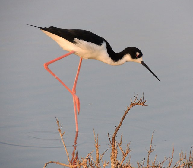 Hawaiian-Stilt-2