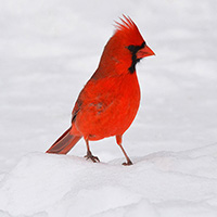 Male-CardinalGravatar