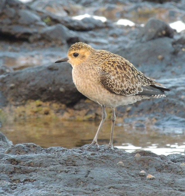 Pacific-Golden-Plover-1