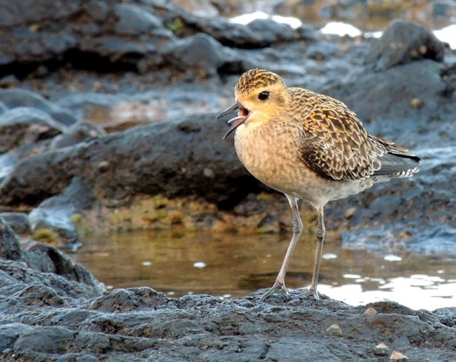 Pacific-Golden-Plover-2