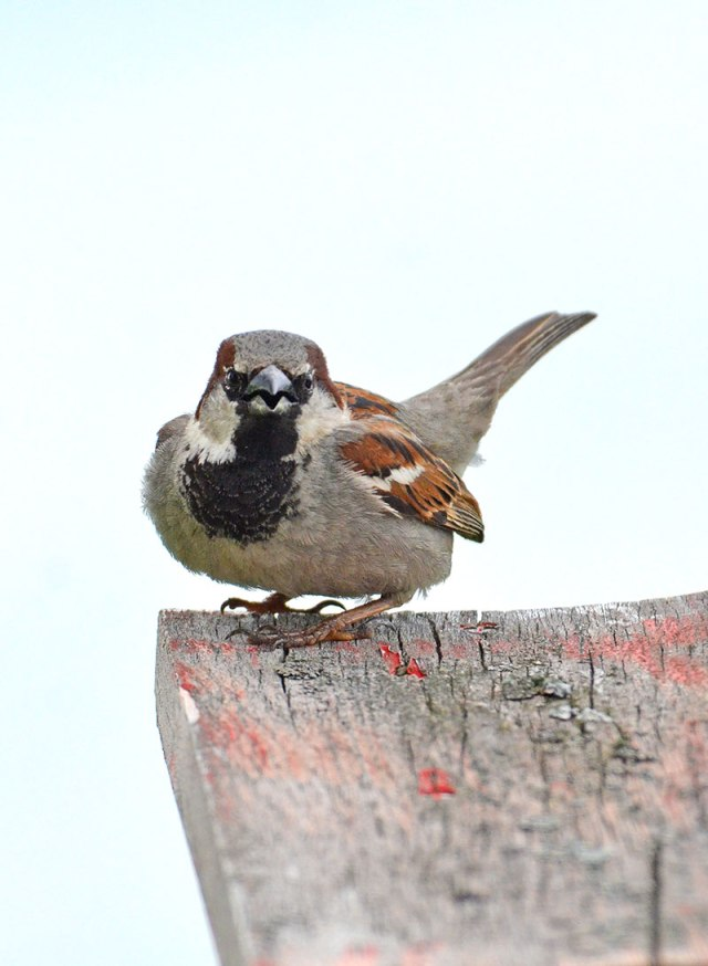 Sparrow-on-Post