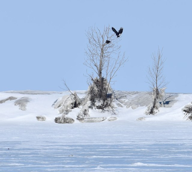 2-Eagles-in-Tree-on-Ice