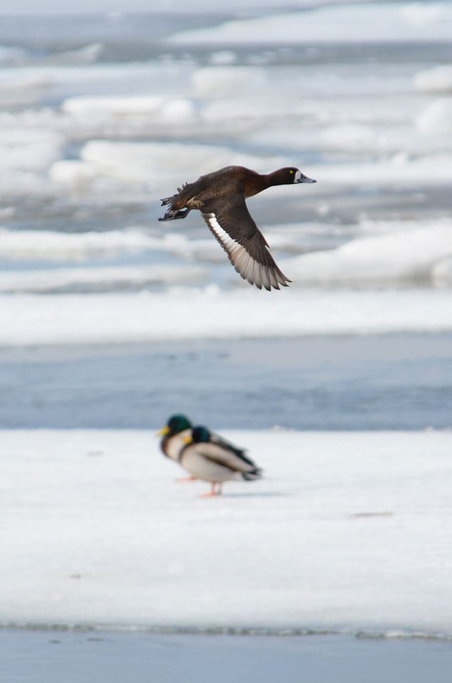 3-Ducks