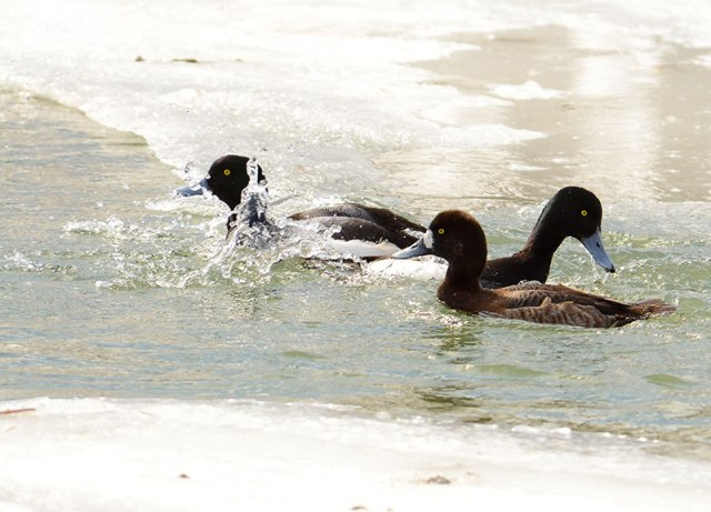 3Scaups-Swimming