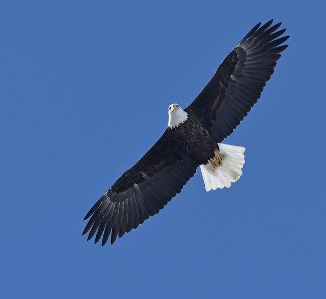 Bald-Eagle-Overhead