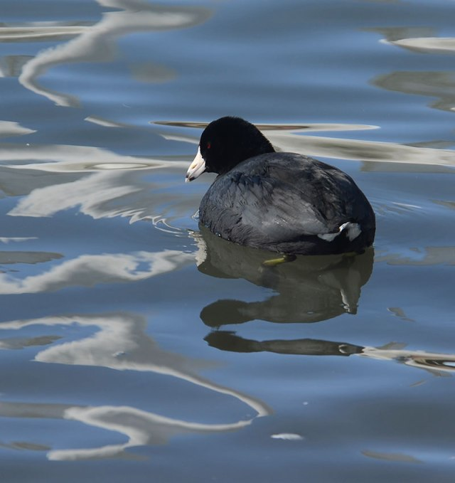 Coot-1