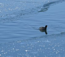 Coot-on-Blue