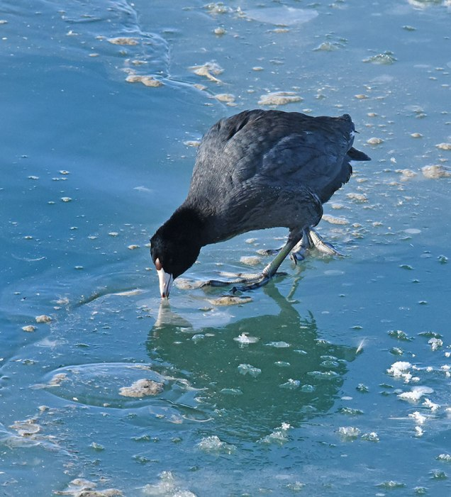 Coot-on-Ice-2