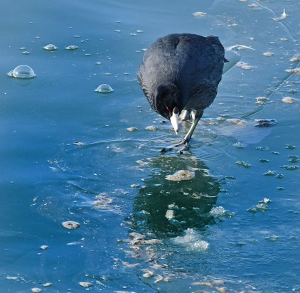 Coot-on-Ice