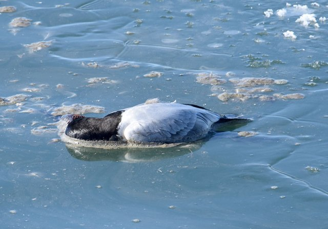Dead-Duck