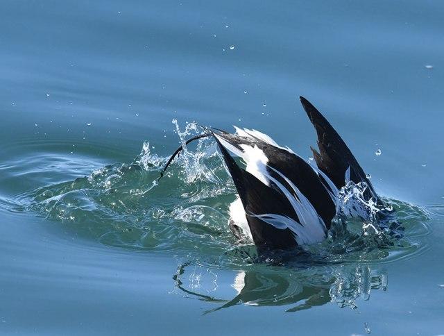 Diving-Duck